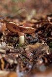 Fungo e foglia in autunno tardo Immagine Stock Libera da Diritti