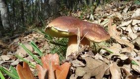 Fungo e foglie Fotografia Stock Libera da Diritti