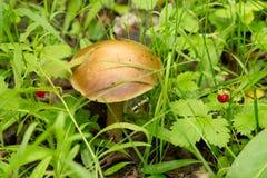 Fungo e fragole nel legno Immagini Stock