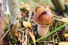 Fungo edulis commestibile del boletus nella foresta di autunno fotografia stock