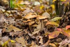 Fungo in foglie gialle Fotografia Stock