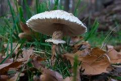 Fungo in foglie gialle Fotografia Stock Libera da Diritti