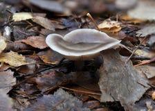 Fungo in foglie marroni di caduta fotografie stock libere da diritti