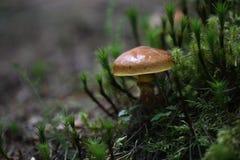 Fungo in foresta Fotografie Stock