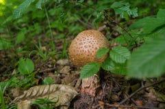 Fungo in foresta Fotografie Stock Libere da Diritti