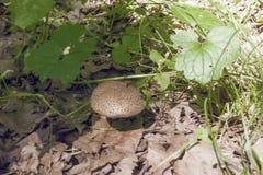 Fungo fra l'erba e le foglie Fotografia Stock Libera da Diritti