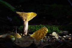 Fungo giallo Immagini Stock Libere da Diritti