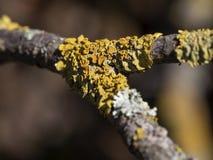 Fungo giallo su un ramo di albero, primo piano dell'albero fotografia stock libera da diritti