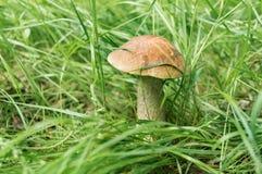 Fungo grigio in una radura della foresta Fotografia Stock Libera da Diritti