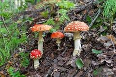 Fungo macchiato quattro rossi nella foresta fotografia stock