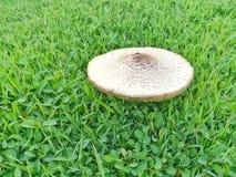 Fungo magico su erba verde naturale Fotografia Stock Libera da Diritti