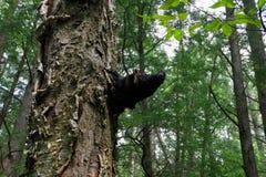 Fungo medicinale di Chaga che cresce sull'albero di betulla immagini stock libere da diritti