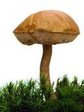 Fungo in muschio isolato su bianco Fotografia Stock