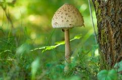 Fungo nella foresta. Fotografie Stock Libere da Diritti