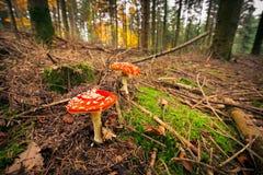 Fungo nella foresta Immagini Stock
