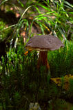 Fungo nella foresta circondata da muschio Fotografie Stock