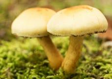 Fungo non commestibile, macro, ciuffo dello zolfo (fasciculare di Hypholoma) Fotografie Stock