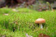 Fungo non commestibile nell'erba fotografie stock libere da diritti