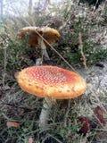 Fungo o fungo rosso dell'agarico di mosca nell'erba Fotografia Stock Libera da Diritti
