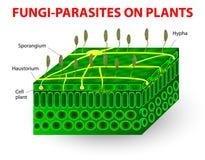 Fungo-parasita em plantas Imagem de Stock