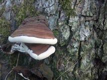 Fungo piacevole che riposa su un albero Fotografie Stock Libere da Diritti