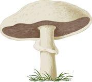 Fungo prataiolo del fungo. Vettore Fotografie Stock