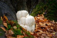 Fungo raro della criniera del ` s del leone in una foresta olandese immagine stock