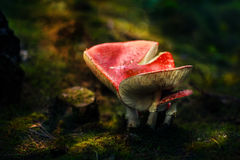 Fungo ricoperto rosso tossico Immagine Stock Libera da Diritti