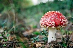 Fungo rosso Fotografie Stock Libere da Diritti