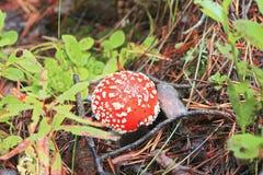 Fungo rosso del fungo che cresce nella foresta autunnale Immagini Stock Libere da Diritti