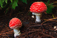 Fungo rosso del Toadstool Fotografia Stock
