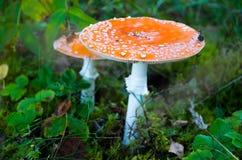 Fungo rosso dell'amanita che cresce sul muschio nella foresta immagini stock