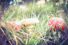 Fungo rosso della mosca Fotografie Stock Libere da Diritti