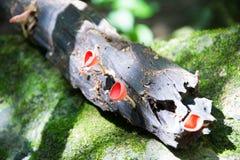 Fungo rosso della tazza Immagine Stock