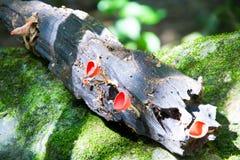 Fungo rosso della tazza Fotografia Stock