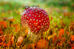 Fungo rosso e bianco di muscaria dell'amanita, Fotografia Stock