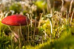 Fungo rosso nell'erba Fotografia Stock Libera da Diritti