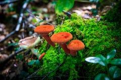 Fungo rosso nella foresta immagini stock libere da diritti