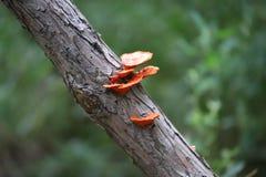 Fungo rosso nelle nuove aree umide della parte di Bohai immagini stock libere da diritti