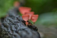Fungo rosso o fungo di Champagne Fotografie Stock
