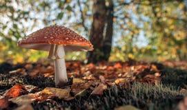 Fungo rosso su Sunny Day Fotografia Stock Libera da Diritti