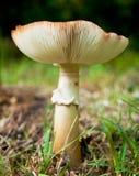 Fungo - Russula giallo comune Immagini Stock