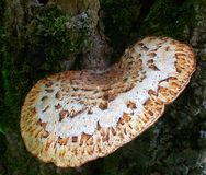 Fungo sarapintado na árvore Brown branco e salpicado Imagens de Stock