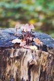 Fungo scanalato del cofano, fungo Polygramma di Mycena Natura dentro Fotografie Stock Libere da Diritti