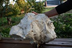 Fungo secco gigante Fotografie Stock