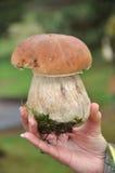 Fungo selvaggio di Porcini Fotografie Stock