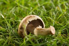 Fungo sopra l'erba verde Fotografia Stock