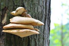 Fungo su un albero Fotografia Stock Libera da Diritti