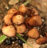 Fungos Imagens de Stock Royalty Free