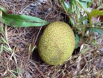 Fungos amarelos redondos Fotos de Stock Royalty Free
